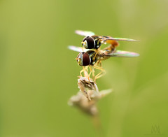 Fly United (marianna_a.) Tags: hover fly flies united union couple macro bug tiny cute p1450850 mariannaarmata happybokehwednesday bokeh