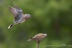 Tourterelles des bois (gilbert.calatayud) Tags: columbidés columbiformes europeanturtledove streptopeliaturtur tourterelledesbois bird oiseau laddo mazères ariège