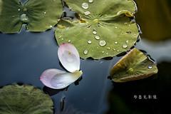 D66_9945 (brook1979) Tags: 台北市 植物園 荷 蓮 荷花 蓮花 葉 花 lotus flower