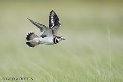 Killdeer (Gregory Lis) Tags: killdeer charadriusvociferus gorylis gregorylis britishcolumbia nikond810 nikon bird