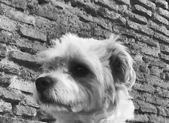 Head shot Icey b&w (ilirjacellari) Tags: roma aurelianwall icey mylittledog littledog