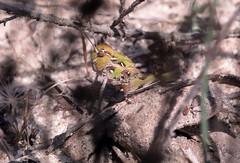 Oedaleus decorus - 02 VI 2016 (el.gritche) Tags: oedaleus decorus oedaleusdecorus orthoptera acrididae france 40