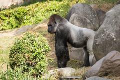 2017-06-05-10h27m00.BL7R6818 (A.J. Haverkamp) Tags: bokito canonef100400mmf4556lisiiusmlens rotterdam zuidholland netherlands zoo dierentuin blijdorp diergaardeblijdorp httpwwwdiergaardeblijdorpnl gorilla westelijkelaaglandgorilla dob14031996 pobberlingermany nl