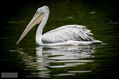 Pelikan (ab-planepictures) Tags: pelika zoo duisburger tier animal vogel bird
