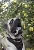 You have something in your lips. (lexlikelily) Tags: dog rosebush flowers mastiff englishmastiff