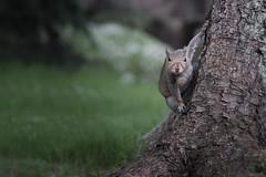 Watching (James Cosgrove2013) Tags: nature tree squirel wild wildlife animal grey