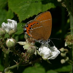 Black hairstreak (LPJC) Tags: blackhairstreak butterfly glapthorncowpastures northamptonshire uk 2017 lpjc