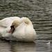 Holyrood Park - Swan