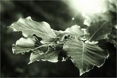 ... (firlie-de) Tags: firlie buche buchenblätter monochrom mono beech