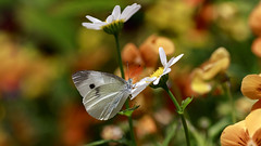 Cabbage Butterfly (Johnnie Shene Photography(Thanks, 2Million+ Views)) Tags: cabbagebutterfly butterfly commonbutterfly whitebutterfly pierisrapae pieris lepidoptera nature natural wild wildlife livingorganism tranquility adjustment interesting awe wonder fulllength depthoffield korea asia highangle perching resting macro closeup magnified daisy flower plant photography horizontal outdoor colourimage fragility freshness nopeople foregroundfocus feeding behaviour motion still stationary feeler bokeh spring day daylight wings limbs vivid sharpness animal insect bug canon eos80d 80d tamron 90mm f28 11 lens 배추흰나비 흰나비 나비 곤충 접사 매크로