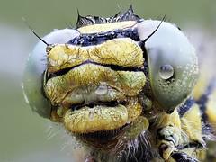 Western Clubtail (pen3.de) Tags: penf zuiko 60mmmakro animal tier insekt libelle dragonfly libellenportät augen facettenaugen morgentau tropfen wildlife natur naturlicht haarig fühler kopf portrait focusbkt
