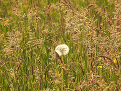 Time (Lancashire Lass :) :) :)) Tags: dandelionseedhead nature explore dandelion grass spring summer june meadow field