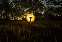 Dandelion Eclipse (Matt Champlin) Tags: eclipse dandelion random spring springtime sunstar canon flower lawn lush green sunset peaceful macro 2017 home cny skaneateles