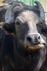 Buffalo (Igor Gluhoj (intui.pro)) Tags: bison bull animal cattle reserve askanianova ukraine outdoor animals nature buffalo naturereserve