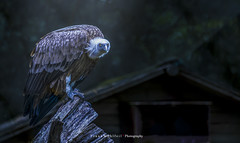 When I came home, he was already waiting for me to lunch (mr.wohl) Tags: geier afrika safari nacht nachtaufnahme wald vogel greifvogel