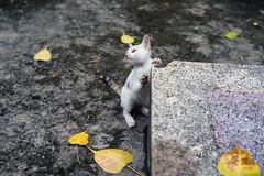 (kuuan) Tags: manualfocus mf ltm m39 canon rangefinder f14 50mm 1450 f1450mm canonltmf1450mm ilce7 a7 sony alphaa7 hcmc saigon vietnam leaves botree cat kitty babycat