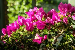 Bonsai (San Francisco Gal) Tags: bougainvillea bonsai flower bokeh 2017filoliflowershow filoli ngc npc