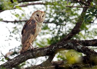 Lechuza Común - Barn Owl - (Tyto alba)