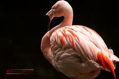Flamingo (Phoenicopterus roseus) (Thoober) Tags: 2017 canon duisburg eos tiere zoo animals flamingo bird pink rosa vogel lowkey sun federn schnabel feathers tamron 150600 70d tamron150600 thebiggestgroupwithallkindofanimals