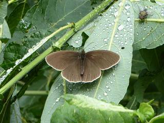 Ringlet - Aphantopus hyperantus - Linford Wood MK 01Jul17 a