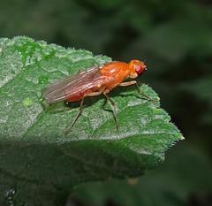 Rust Never Sleeps (Bricheno) Tags: psilidae renfrew macro bricheno leaf bug fly insect scotland escocia schottland écosse scozia escòcia szkocja scoția 蘇格蘭 स्कॉटलैंड σκωτία