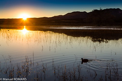 American coot, sunset at Bosque del Apache (Manuel ROMARIS) Tags: bosquedelapache refuge national wildlife newmexico usa reserve