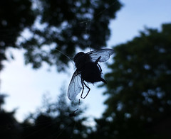 Death of a fly (ArtGordon1) Tags: spiderweb fly insect death davegordon davidgordon daveartgordon davidagordon daveagordon artgordon1 walthamstow london england uk