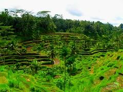 Terrazas_arroz_Bali_tegallalang (ruben25x12) Tags: bali indonesia tegalalang riceterrace arroz terraza templo uluwatu tanalot tanahlot