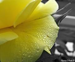 Rainy day (Noemie.C Photo) Tags: jaune yellow rose fleur flower rain pluie gouttes drops dropets goutelettes garden jardin nature plant plante colors couleurs petales petals