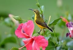 Sunbird_Cairns_June 2017_DSC_1548 (renrut01) Tags: birds sunbird cairns qheensland north yellow beak