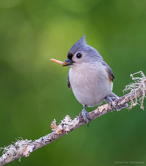 Lunch - Tufted Titmouse (Christy Cox Photography) Tags: baeolophusbicolor tuftedtitmouse bird urban april2016 ga worm food nature green lunch