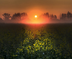 Beauty-full passion (Robyn Hooz) Tags: colza ripeseed alba padova gold oro dorato arancione campi fields luce light sunrise sorgere cielo