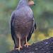 Roadside Hawk [37100]