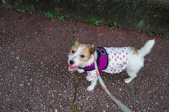 Morning Walk (moaan) Tags: kobe hyogo japan jp dog jackrussellterrier kinoko walking snap utata 2017 leicax2