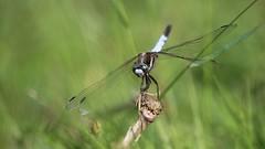 Face à face... (Callie-02) Tags: bokeh profondeurdechamp extérieur macro canon insecte libellule