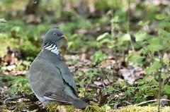 Pigeon (highlandserie3) Tags: pigeon oiseau faune forêt animaux animals birds wild life