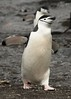 Chinstrap Penguin, Bailey Head, Antarctica (Scott Ableman) Tags: shetlandislands baileyhead chinstrappenguins chinstrappenguin chinstrap penguin nationalgeographicexpeditions lindbladexpeditions nationalgeographicorion antarctica
