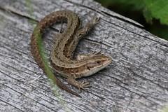 (Zatanen) Tags: lisko ödla lizard commonlizard zootocavivipara skogsödla viviparous sisilisko reptiles waldeidechse lézard lagarto lacerta