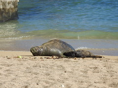 Monk seal cow and pup sleeping (Joel Abroad) Tags: honolulu waikiki monkseal sealpup beach neomonachusschauinslandi phocidae hawaiian endangered