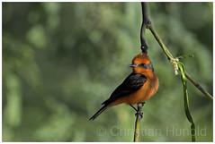 vermilion flycatcher (Christian Hunold) Tags: songbird bird bokeh purpurtyrann vermilionflycatcher rubintyrann catalinastatepark arizona christianhunold sonorandesert