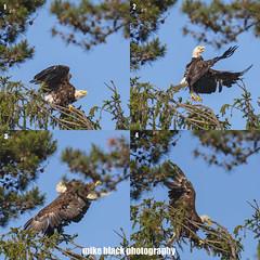 Bald Eagle jump sequence; defending against an Osprey (Mike Black photography) Tags: bald eagle bird nature canon big year birding 5dsr 5ds r 800mm lens body usm is l photo photography mike black june 2017 sky trees birdwatching raptors