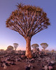 Quiver Trees in the Rocky Desert at Dawn, Keetmanshoop, Namibia (ansharphoto) Tags: africa african aloe arid bark black blue branches bush dawn desert dichotoma dry forest giant granite grass green keetmanshoop landscape light magical morning mystical namib namibia national natural nature outdoor park plant quiver rock scenery scenic sky south southern stone tranquil travel tree twilight unspoiled unusual view wild wilderness wood