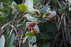 Polygala chamaebuxus (gabrielterraz) Tags: aussois savoie france polygalaceae polygala