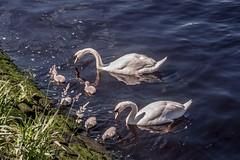 Swans and Cygnets, Glasgow (that petrol emotion) Tags: mg4297 swans cygnets glasgow strathclyde govan riverclyde