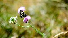 A Bug's Life (Andrea Lanzilli) Tags: zenit helios 58mm f2 fuji xpro2 andrea lanzilli abruzzo xphotography butterfly cricket flowers passo san leonardo italy