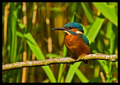 Kingfisher . (Diddley Bo) Tags: