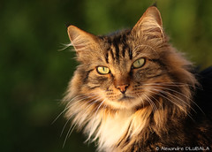 Evening light (Alexandre D_) Tags: canon eos 70d yongnuo yn100 100mmf2 100mm light cat cats chat fluffy eyes bokeh bokehlicious bokehoftheday smoothbokeh sun evening beautiful cute billymontigny hautsdefrance nord pasdecalais portrait model animal animals worldofanimals