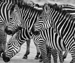 Alignment (AnyMotion) Tags: plainszebra steppenzebra equusquagga 2015 anymotion tarangirenationalpark tanzania tansania africa afrika travel reisen animal animals tiere nature natur wildlife 7d2 canoneos7dmarkii bw blackandwhite sw ngc npc