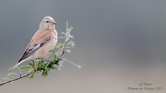Linotte mélodieuse ( Linaria cannabina )-9 (lolo_31) Tags: aves birds cardueliscannabina commonlinnet fringillidae fringillidés linottemélodieuse oiseaux passériformes