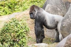 2017-06-05-10h27m37.BL7R6825 (A.J. Haverkamp) Tags: bokito canonef100400mmf4556lisiiusmlens rotterdam zuidholland netherlands zoo dierentuin blijdorp diergaardeblijdorp httpwwwdiergaardeblijdorpnl gorilla westelijkelaaglandgorilla dob14031996 pobberlingermany nl